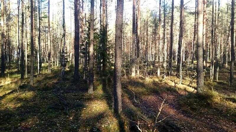 Лес, грибы, ягоды, шишки, медведи, аууу
