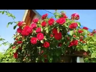 Цветение клематиса и плетистой розы