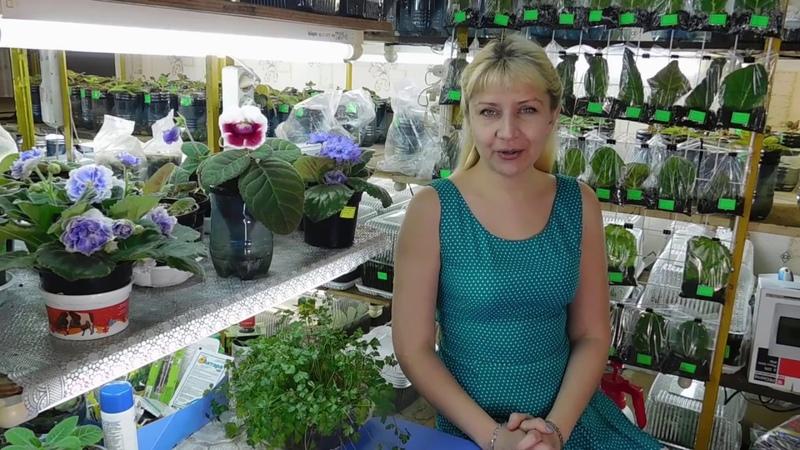 🌹🌹🌹3 СПОСОБА ДЕЛЕНИЯ КЛУБНЯ ГЛОКСИНИИ How to grow gloxinia from a tuber