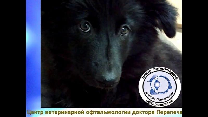 Офтальмологическое обследование щенков ненецкой лайки (оленегонного шпица)
