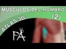 Músculos del Hombro Atlas 3D Parte 2