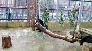Гималайские медведи Гай и Сойка