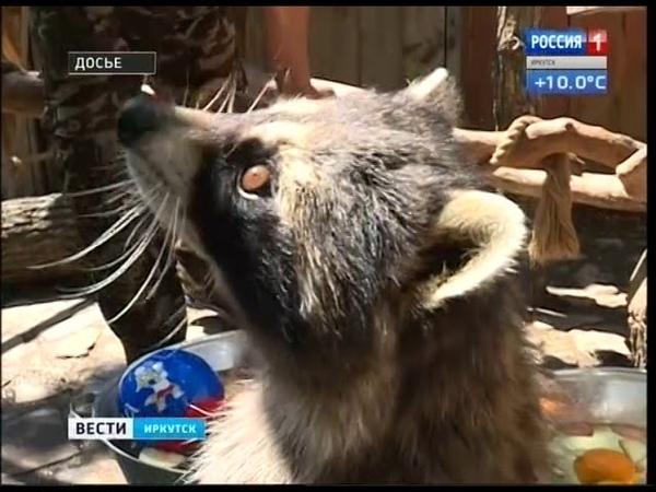Иркутский енот предсказатель Нафаня стал отцом
