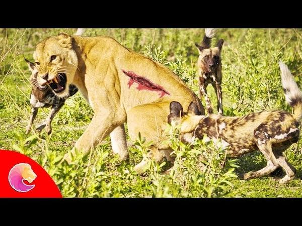 Sức mạnh bầy đàn của loài Chó Hoang khiến Sư Tử và Báo Đốm phải khiếp sợ