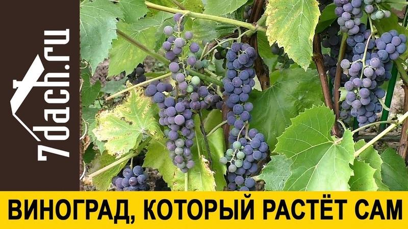 🍇 Виноград, который растёт сам. Неприхотливый сорт для северных районов - 7 дач