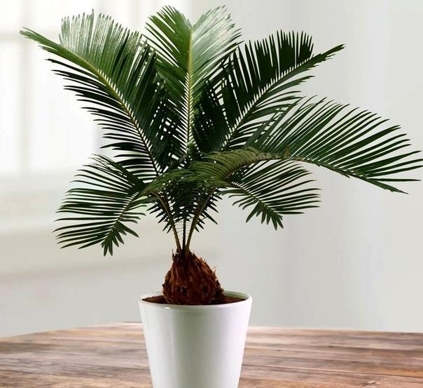 ЦИКАС ЦИКАС - древнейшее растение, похожее на пальму - это пальмовый папортник с коротким, похожим на ананас, стволом, который с возрастом вытягивается, и розеткой красивых веерных кожистых