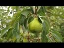 2018-09-22, груша на дереве в ветреную погоду, осенью в саду