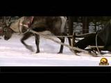 Reindeer sledding - Reinsdyrkj