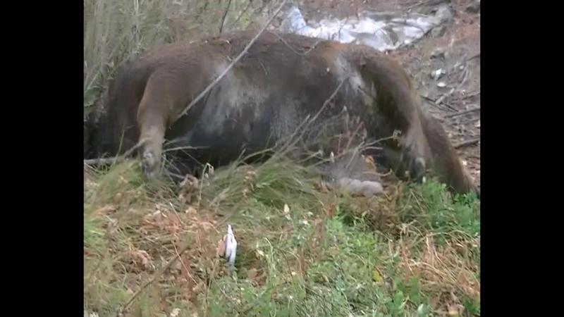 Мертвая свинья валяется в Хабаровске .