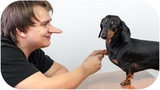 Don't trust your humans! Cute &amp funny dachshund dog video!