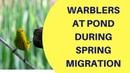 Spring Migrating Warblers Visit Pond May 2018