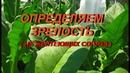 ДНЕВНИК ТАБАКОВОДА № 24 4 07 определяем зрелость зеленых сортов табака