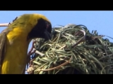 Watch a Weaver Bird build a nest in a single day video by Nikeaorg