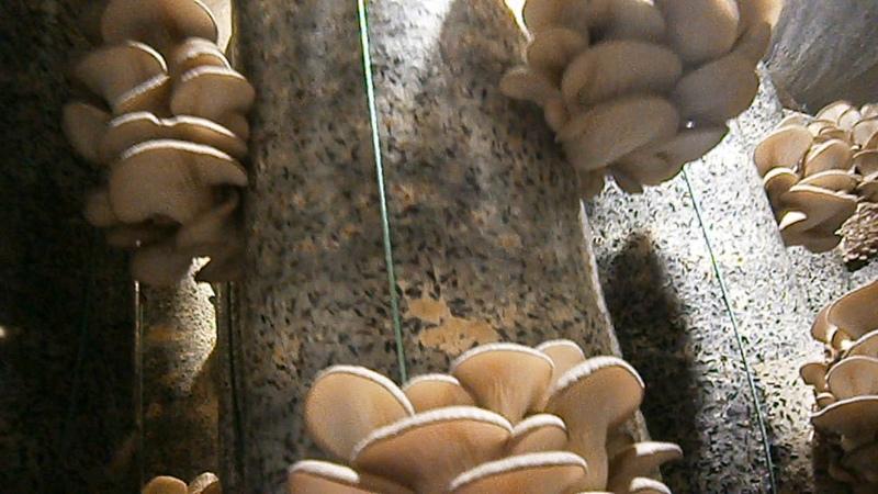 Вешенка Сколько можно собрать гриба с одного грибного блока