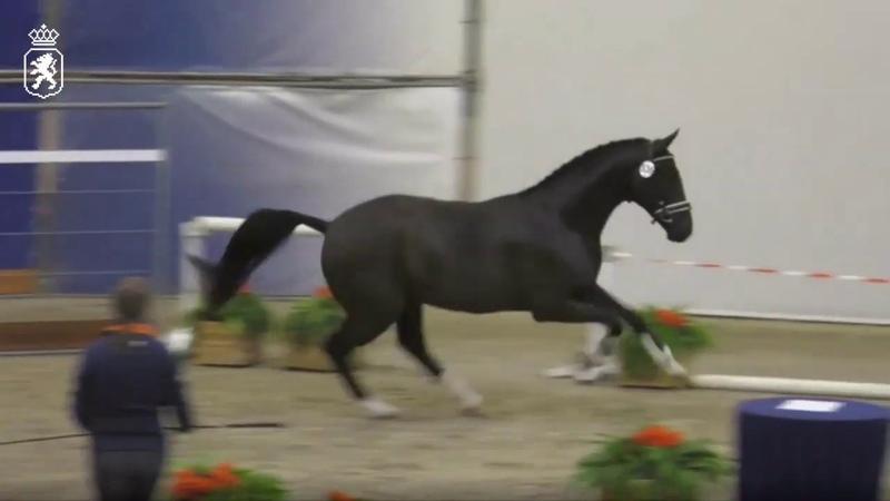 KWPN approved stallion Taminiau (Glocks Toto Jr. x Sandro Hit) (3Jan2019-1)