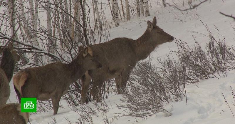 В Красноярском крае восстанавливают популяцию маралов