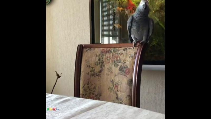 Отойди от моего телефона! Разговорчивый попугай пытается стащить гаджет своей хозяйки