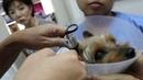 Неприятный запах изо рта и 2 кожные опухоли у 11 летнего шелковистого терьера Часть 1 The 11 year old Silkie Terrier has bad breath and 2 skin tumours Pt 1