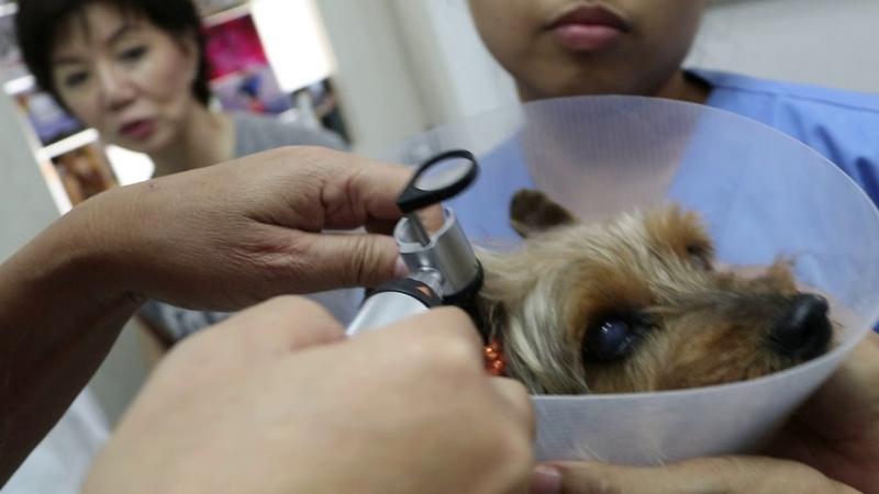 Неприятный запах изо рта и 2 кожные опухоли у 11-летнего шелковистого терьера. Часть 1 The 11-year-old Silkie Terrier has bad breath and 2 skin tumours. Pt 1