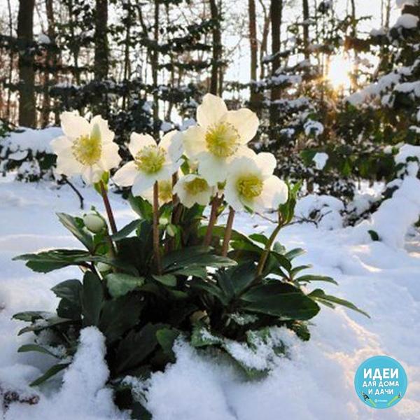 Ровно за две недели до Рождества просыпается цветок Морозник.