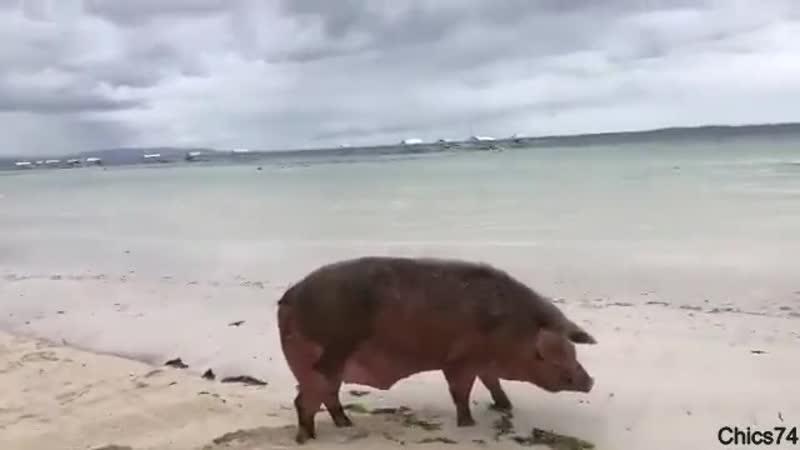 Так вот ты какой, морской свин!