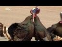 Nat Geo Wild Бойцовский клуб для животных Убийцы гиганты 1080р