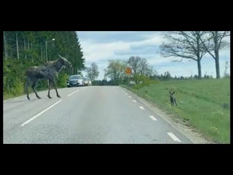 Лосиха с лосёнком переходят дорогу Швеция 2019