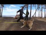 Щенок нападает на фигуранта)))))Дива