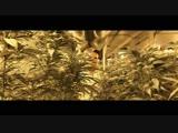 [Nicky Rush] Нелегальная ферма конопли в США. Какой штраф, цена постройки, прибыль, риски.