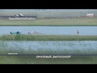 2,5 млн мальков байкальского омуля выпустили в Курумканском районе