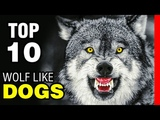 TOP 10 DOG BREEDS THAT LOOK LIKE WOLVES
