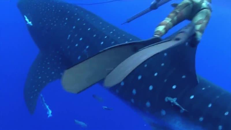Китовая акула врезалась в зазевавшегося дайвера l Whale Shark Throws The Ultimate Surprise When It Crashes Into Diver