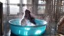 Горилла танцует в бассейне