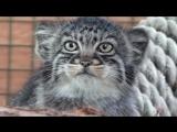 Манул - редкий дикий кот!