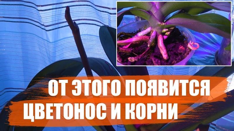 Секреты выращивания орхидей. От этого появятся новые корни и цветонос у орхидеи-фаленопсиса