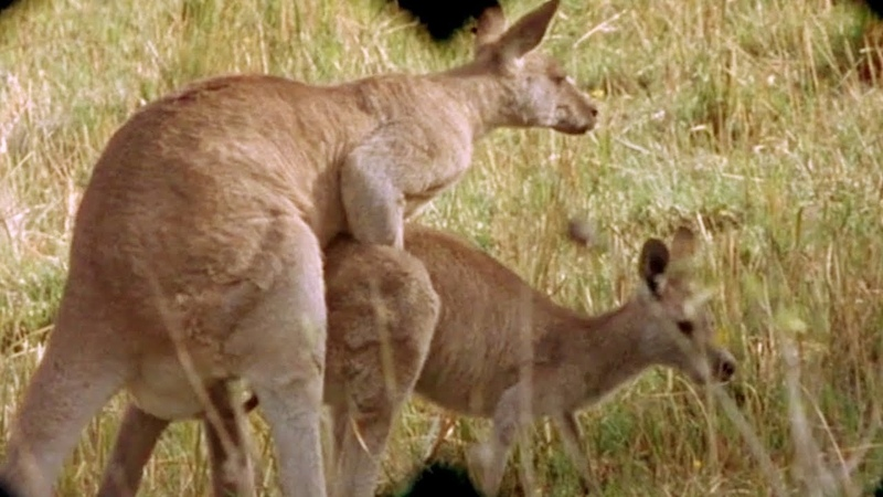 Country Life - The Kangaroo Scene | Jordan Danfyu