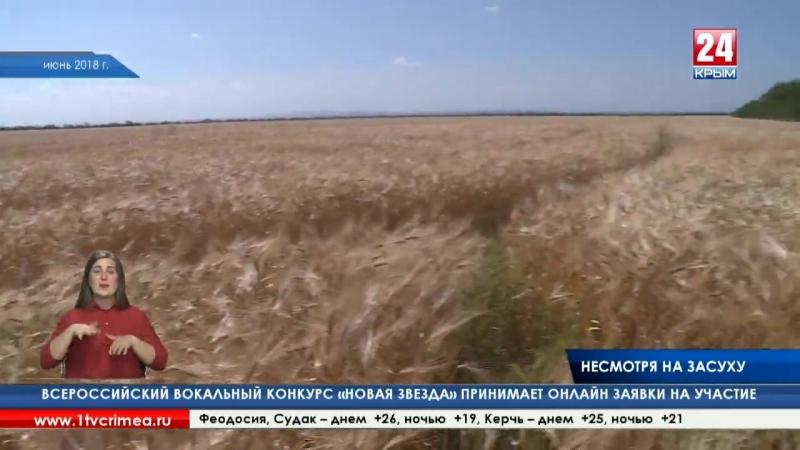 Несмотря на засуху_ по прогнозам учёных, крымские аграрии могут собрать в этом году до 800 тысяч тонн зерновых
