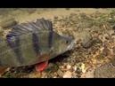MONSTER Perch Devour Live baits Under Water