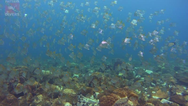 Diamondfish at Hin Rap Diving Koh Chang Thailand