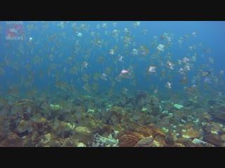 Diamondfish at Hin Rap   Diving Koh Chang, Thailand