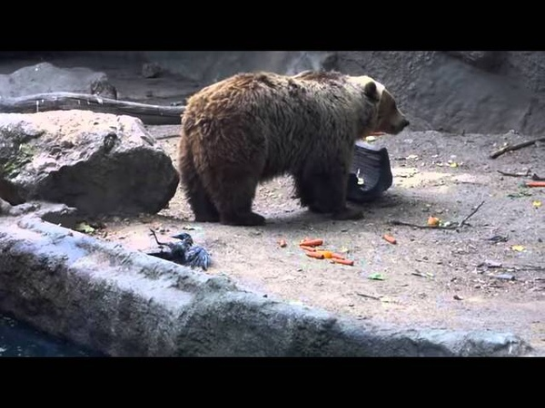 Un ours brun sauve un corbeau de la noyade dans le zoo de Budapest