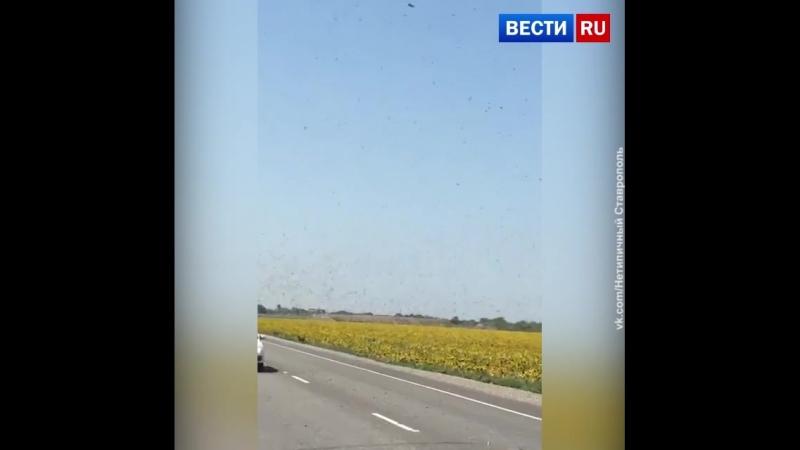 Нашествие полчищ саранчи в Ставропольском крае