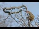 Most amazing discovery Mongoose Battle Desert , on tree : punishment King snake