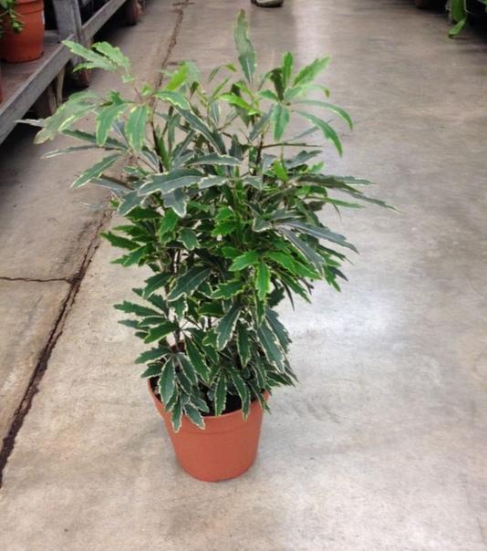 дизиготека дизиготека (dizygotheca) декоративно-лиственное растение семейства аралиевых (araliaceae), родиной которого является австралия и острова океании. дизиготека небольшой вечнозеленый
