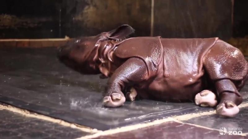 Детеныш индийского носорога.Торонто