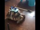 Радиоуправляемая черепаха ))