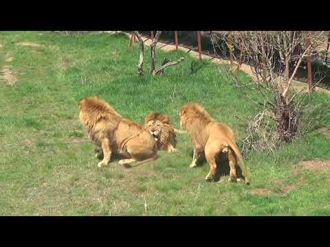 Львы решили разогнать кровь по жилам и подраться