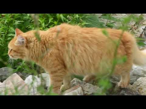 Рыжий кот - Детская экстрадная студия Нейна (нем. Rote katze)