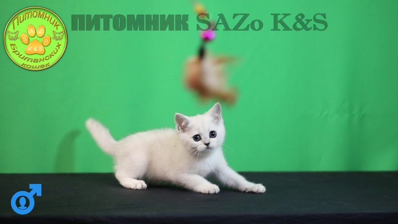 Серебристый очаравательный Британский кот