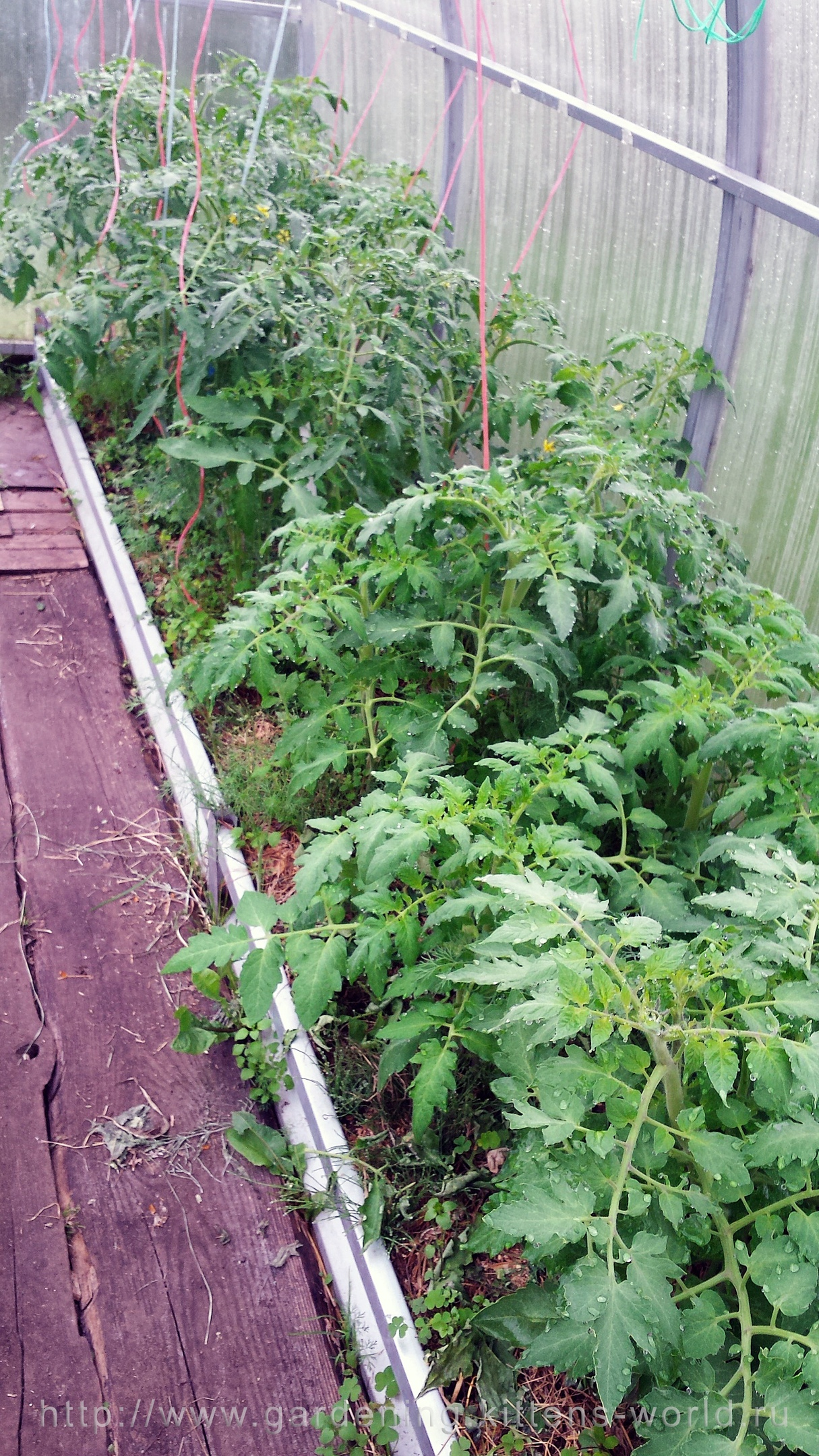 Посадка томатов весной, сравнение и выводы - томаты справа